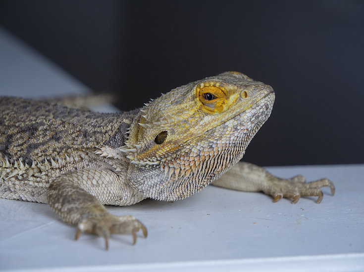 Sub-Adult & Adult Bearded Dragons