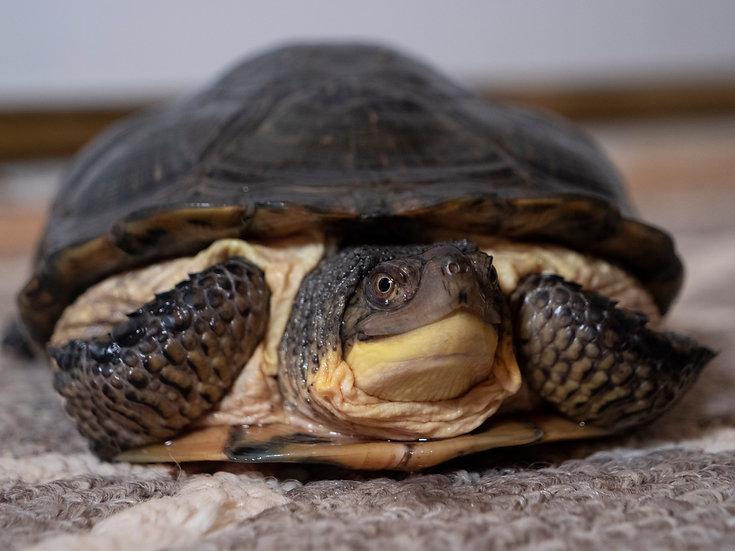 Adult Male African Sideneck Turtle