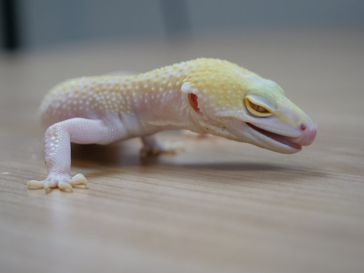 Murphy Patternless Adult Male Leopard Gecko