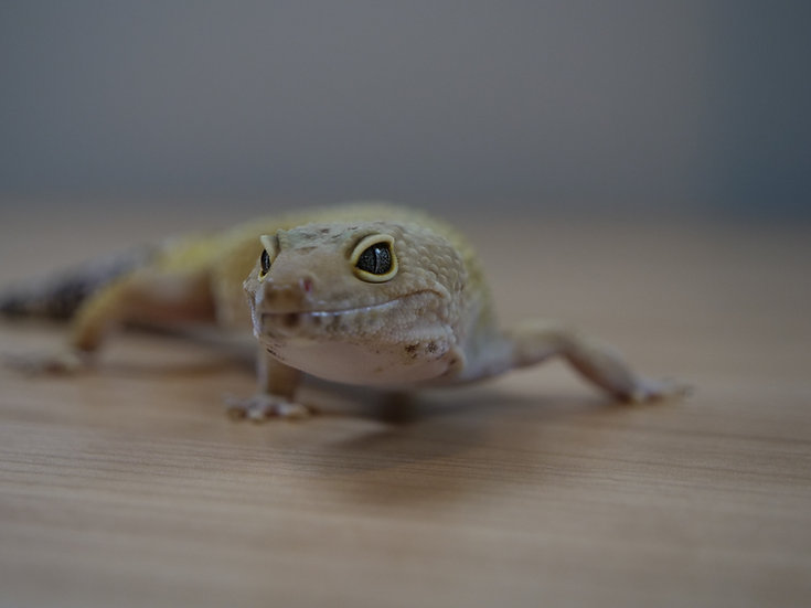 Hypo Adult Female Leopard Gecko