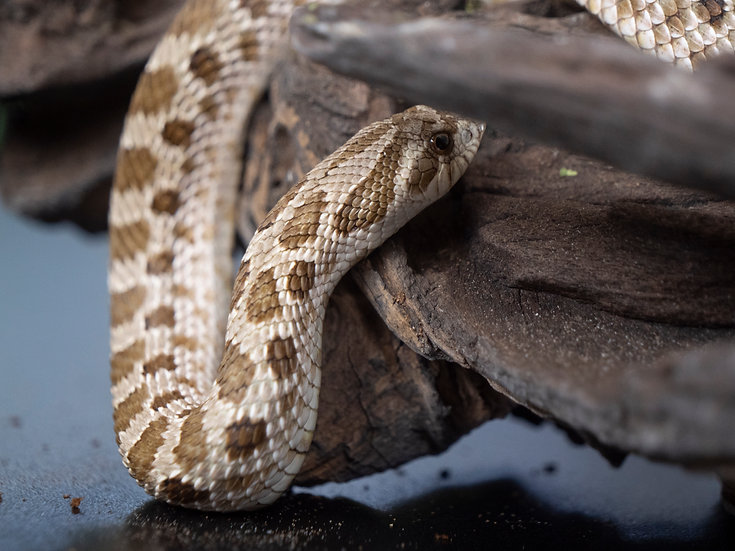 Male Arctic Conda Hognose