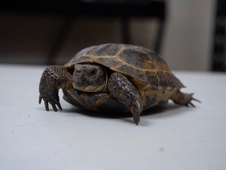 Male Russian Tortoise