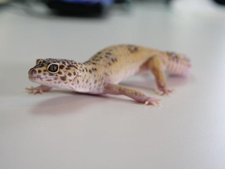 Adult Female Hypo Leopard Gecko