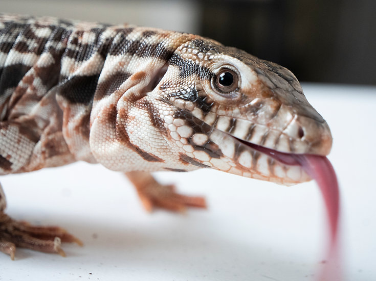 Juvenile Red Tegu