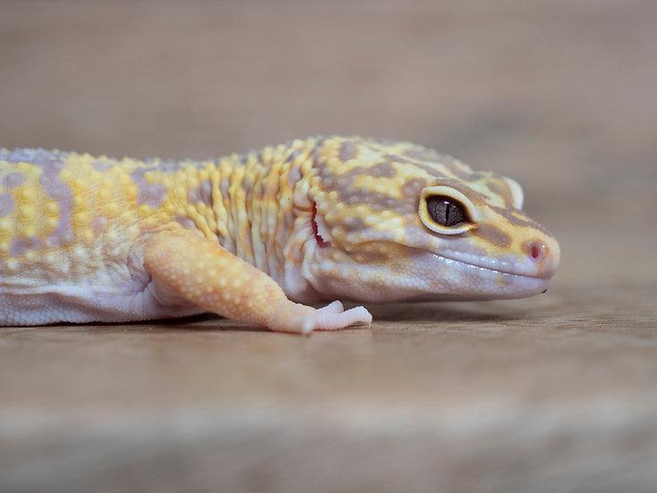 Tremper Albino Male Leopard Gecko