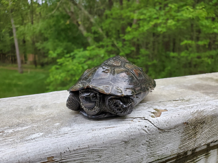 Reeves / Chinese Pond Turtle
