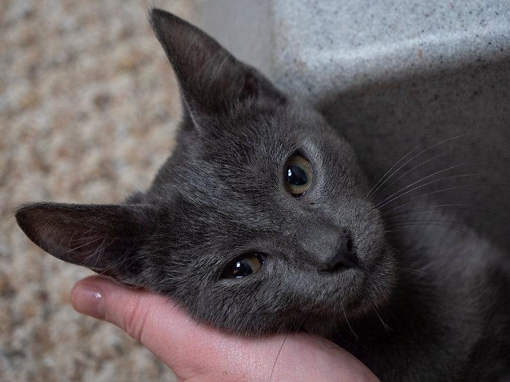 Male All-Grey Kitten