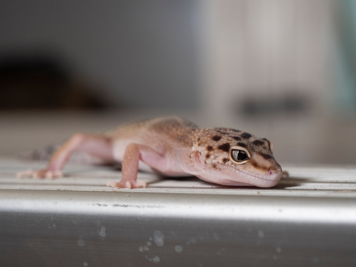 Female Hypo Eclipse Leopard Gecko