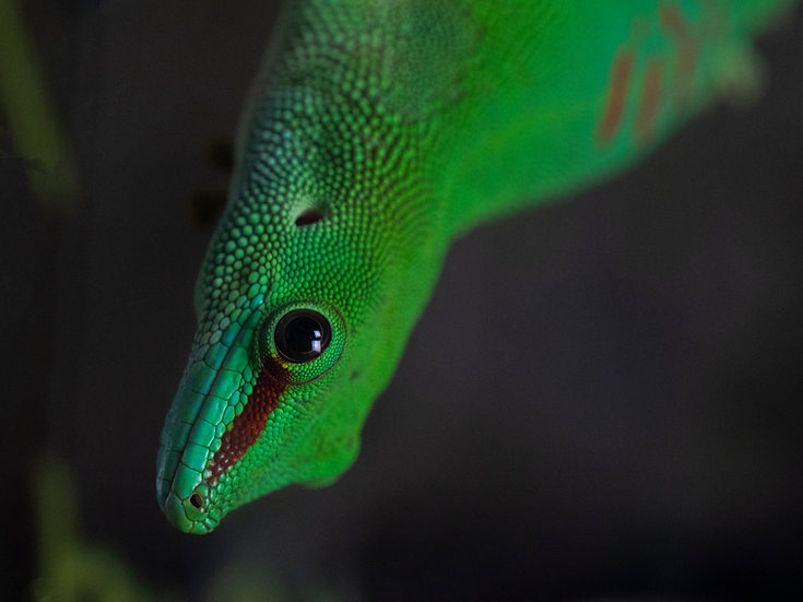Male Madagascan Day Gecko