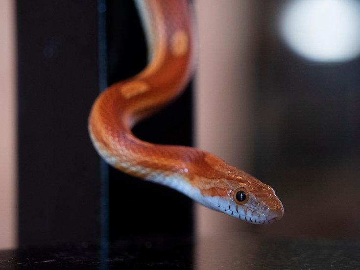 Female Motley Corn Snake