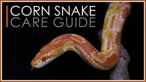 corn snake care guide.jpg