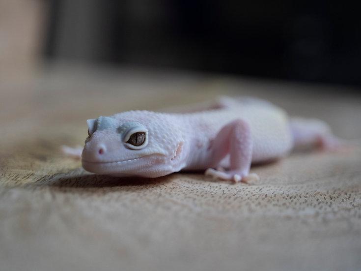 Female Blizzard Leopard Gecko