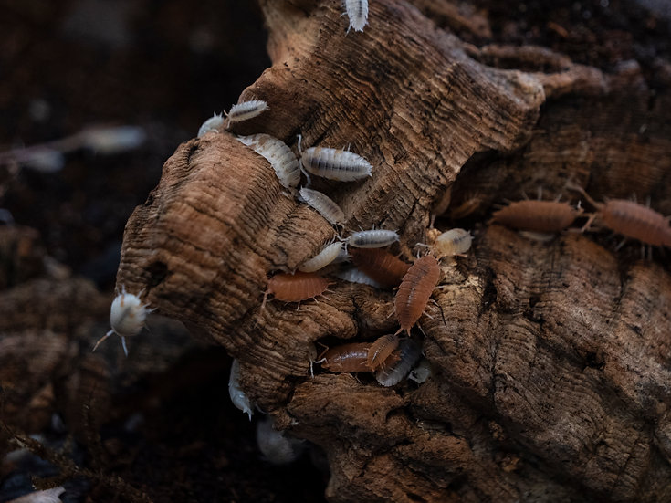 Dalmatian Isopods (15 ct)