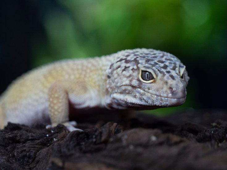 Hypo Male Giant Leopard Gecko