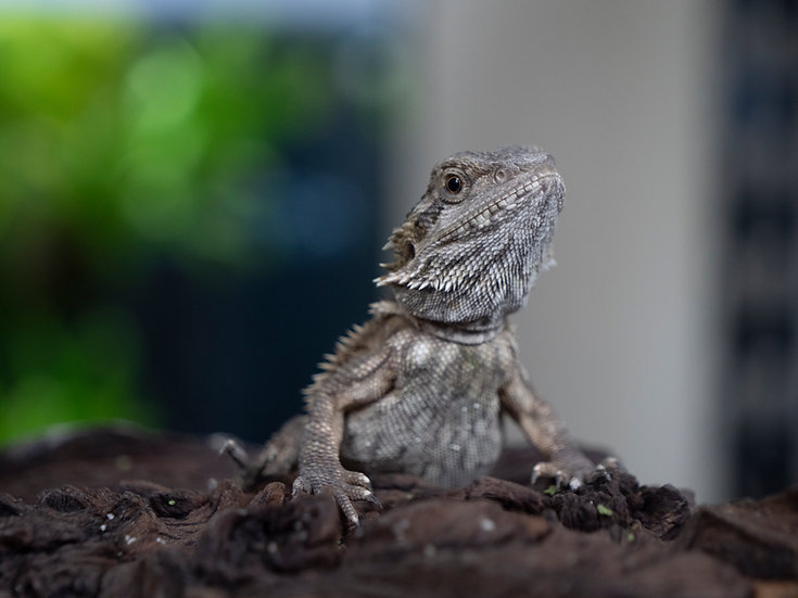 Juvenile Bearded Dragon