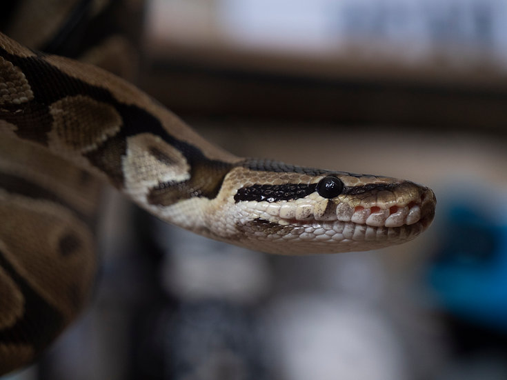 Female Vanilla Ball Python