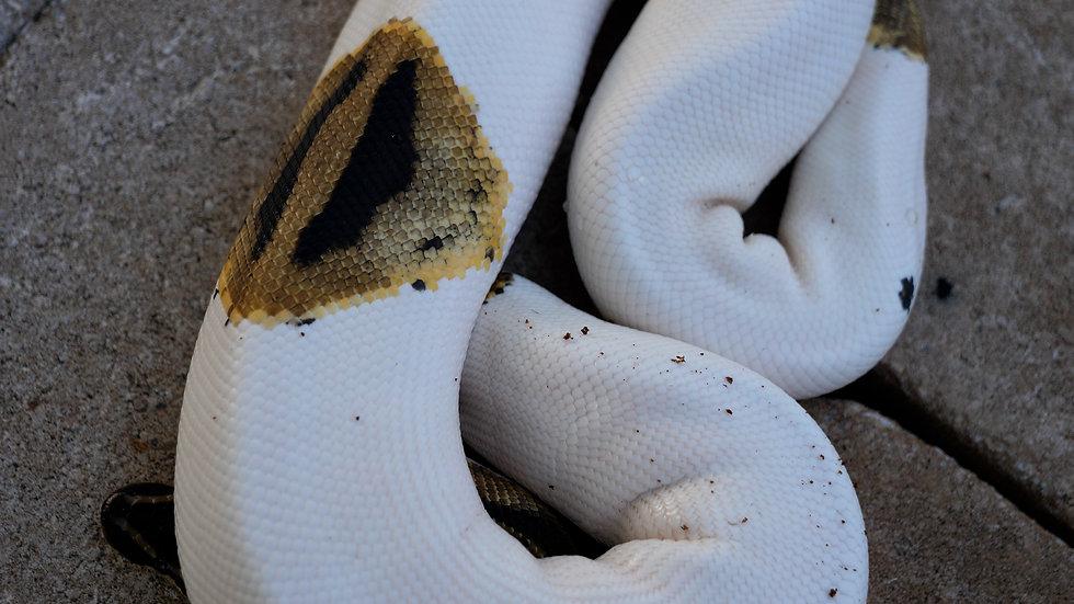 Adult Male Piebald Ball Python