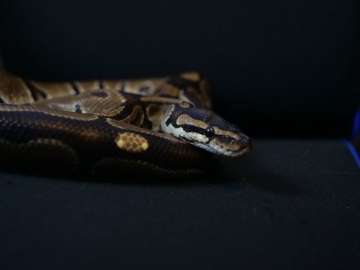 Adult Male Ball Python (Special Needs)