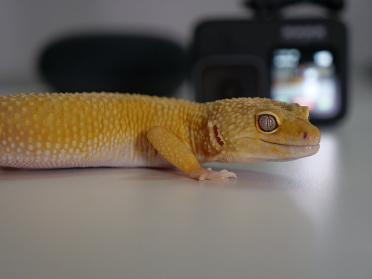 Adult Male Patternless Leopard Gecko