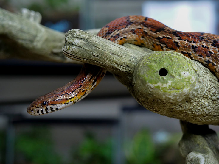 Adult Male Cornsnake
