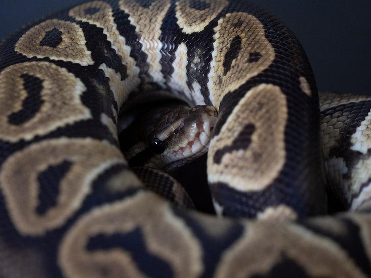 Juvenile Male Cinnamon Ball Python
