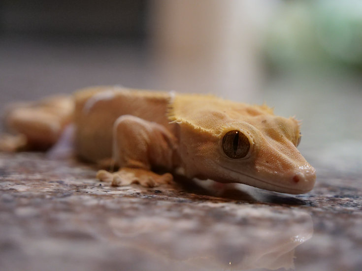 Adult Female Patternless Crested Gecko