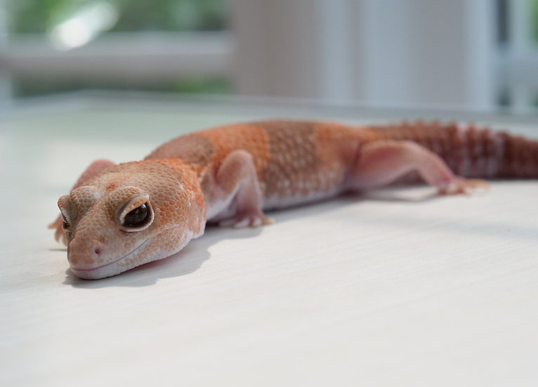 Adult Female Amelanistic African Fat Tailed Gecko