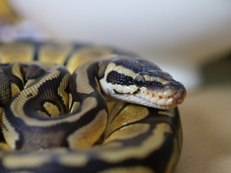 Juvenile Pastel Ball Python