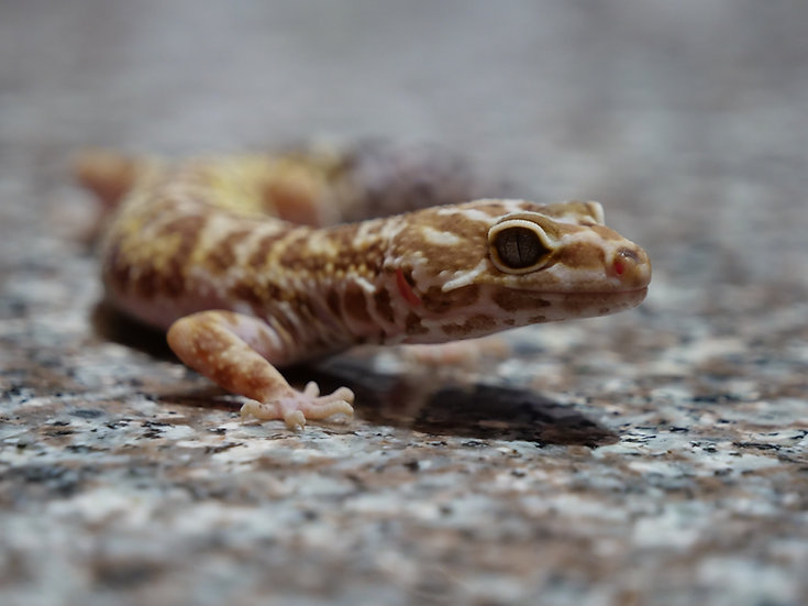 Sub-Adult Female Leopard Gecko