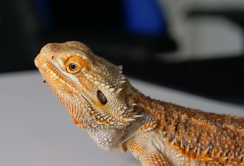 Adult Male Bearded Dragon (Special Needs)