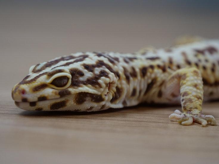 Bell Albino Adult Male Leopard Gecko