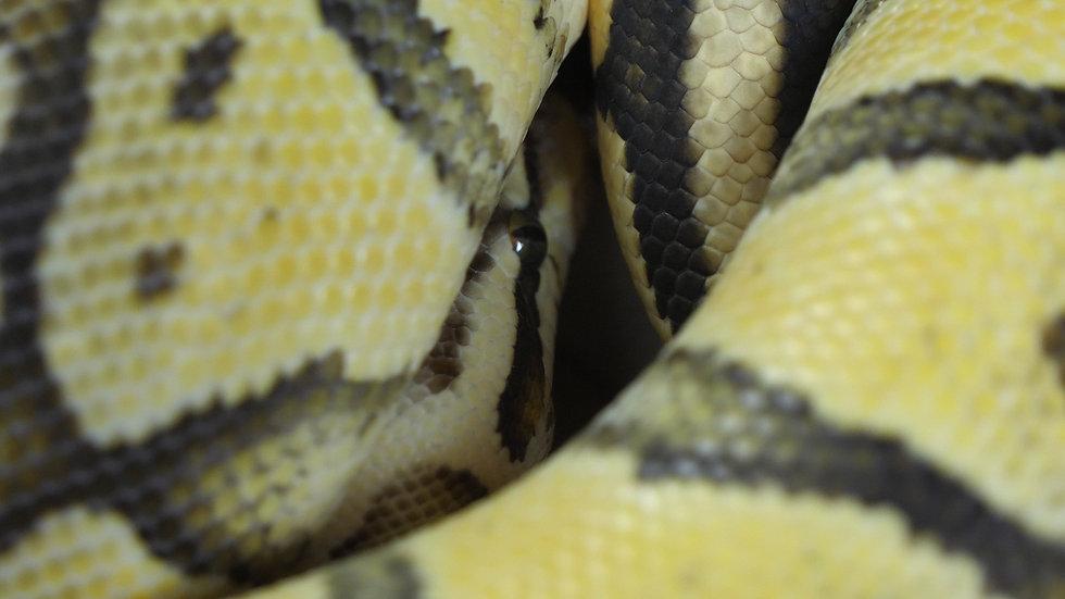 Male Super Pastel Ball Python
