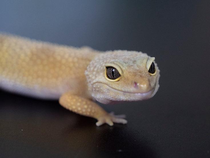 Murphy's Patternless Female Leopard Gecko