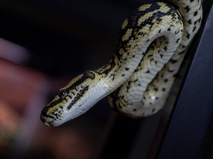 Juvenile Female Jungle Carpet Python