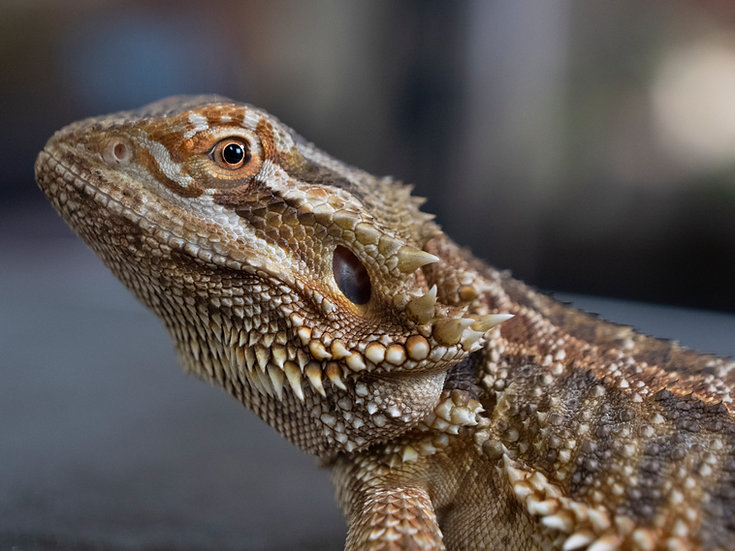 Stunted Male Bearded Dragon