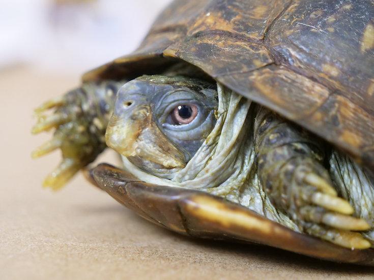 Sub-Adult Female Box Turtle