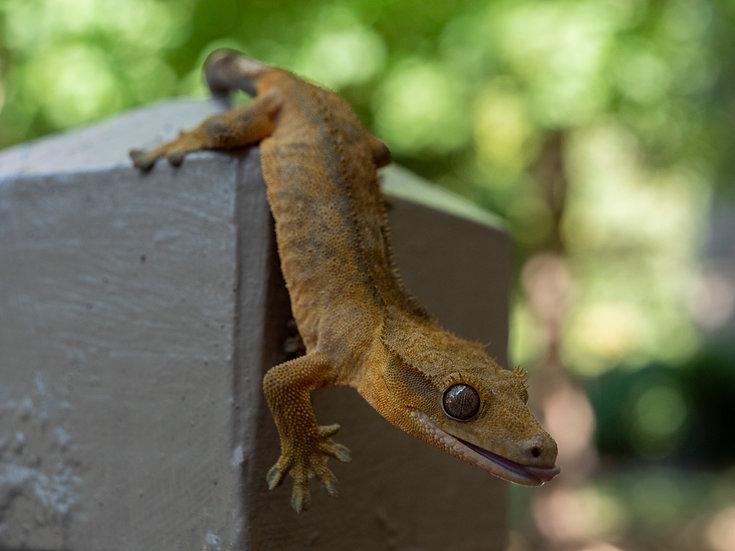 Subadult Male Crested Gecko