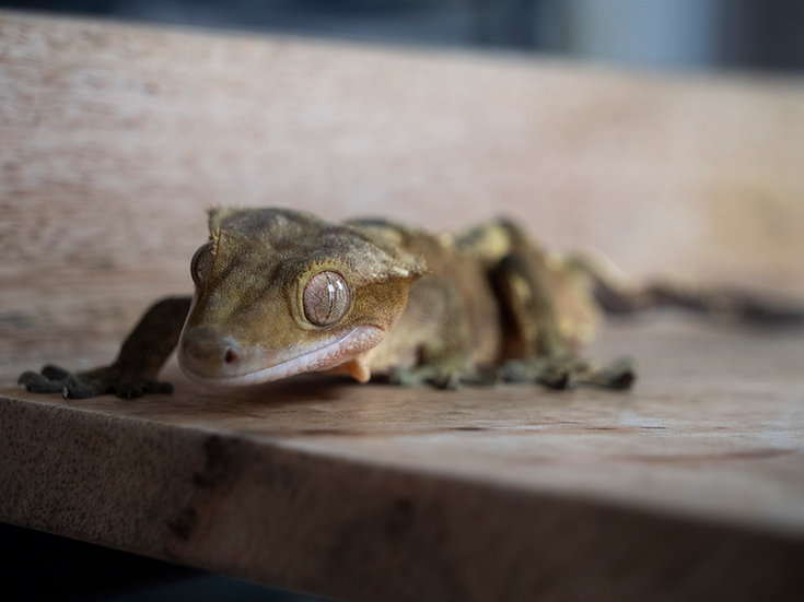 Adult Male Crested Gecko (Special Needs)