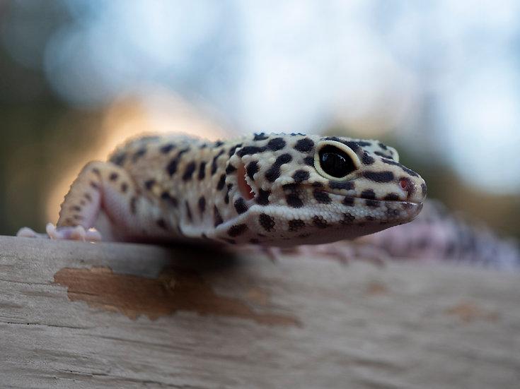 Adult Female Leopard Gecko