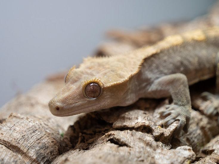Male Harlequin Crested Gecko