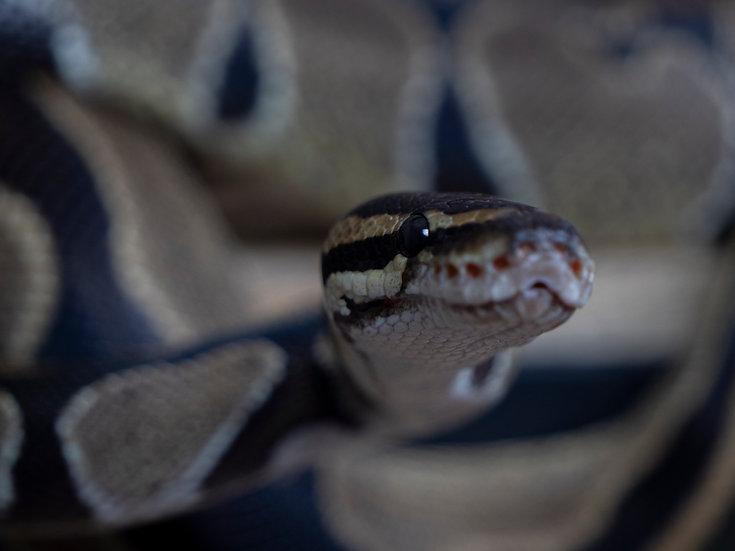 Adult Normal Female Ball Python