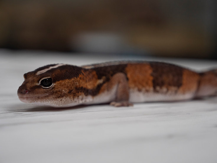 Striped Male African Fat-Tailed Gecko