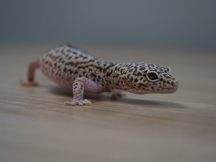 Tremper Albino Adult Female Leopard Gecko