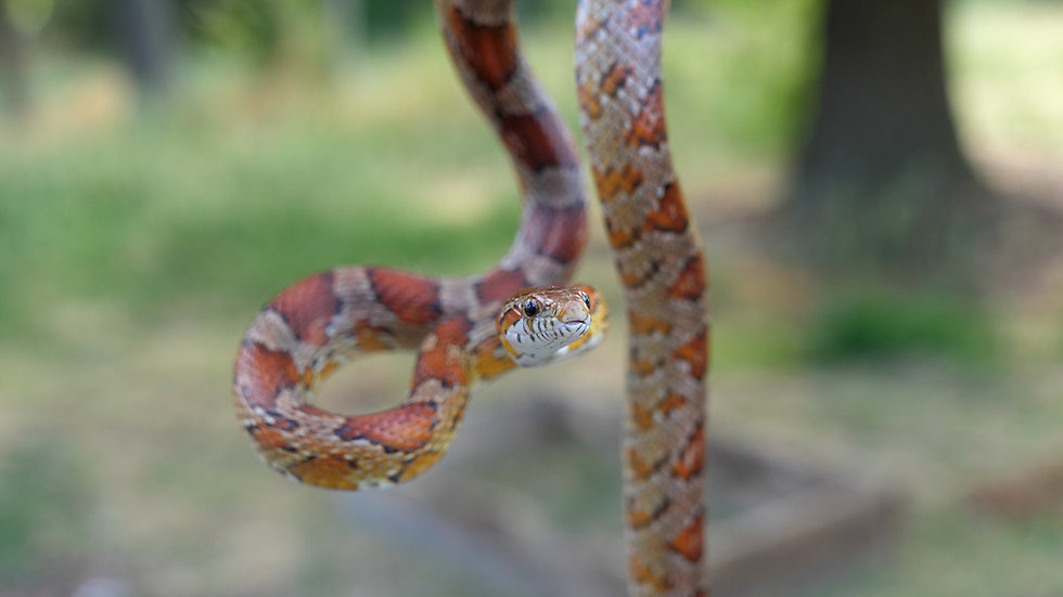 Sub-Adult Male Corn Snake