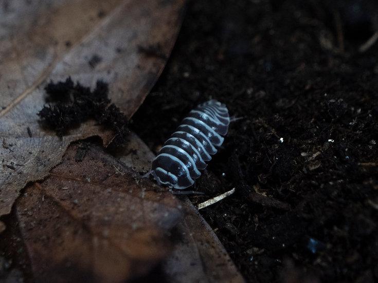 Zebra Isopods (15 ct)