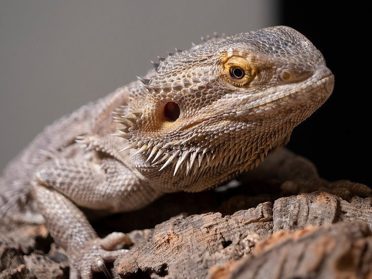 Adult Female Bearded Dragon