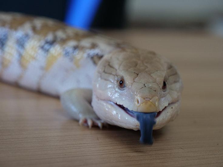 Adult Female Caramel Northern Blue Tongue Skink
