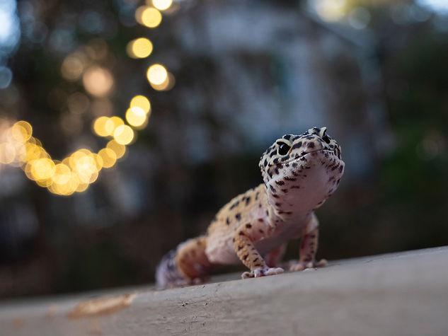 gecko fliped.jpg