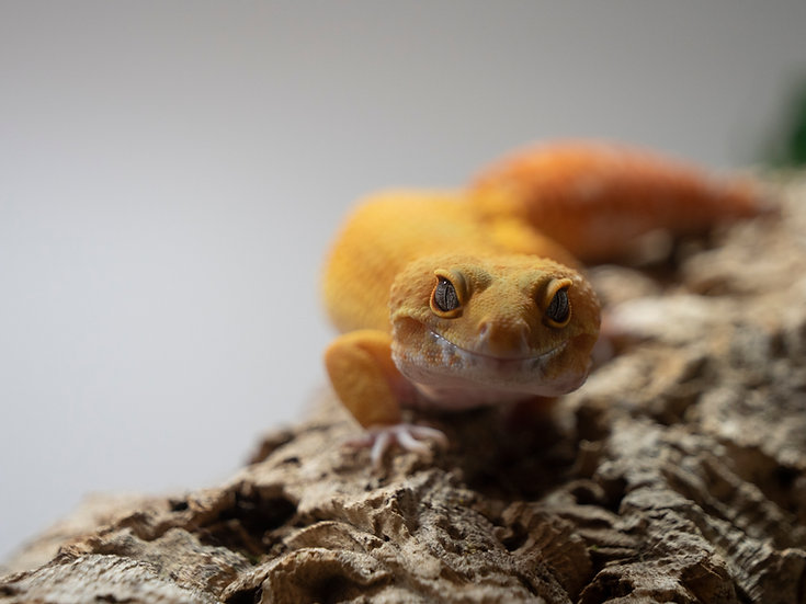 Male Sunglow Leopard Gecko