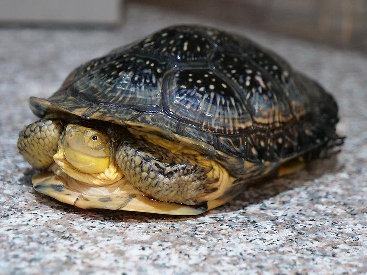 Adult Male Blanding's Turtle
